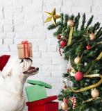 Posição adorável do cachorrinho do buldogue ao lado de uma árvore de Natal imagens de stock royalty free