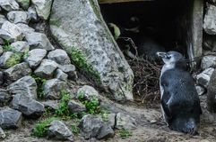 Posição azul do pinguim do anão pequeno na frente de uma caverna fotos de stock
