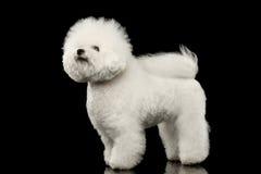 Posição branca do cão de Bichon Frise do puro-sangue, olhando o preto acima isolado fotos de stock royalty free