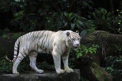 Posição branca do tigre fotografia de stock