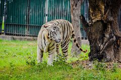 Posição branca do tigre em um jardim zoológico imagens de stock royalty free