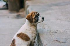 Posição branca e marrom triste do cão disperso em uma estrada que olha para trás fotos de stock