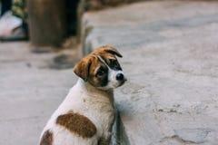 Posição branca e marrom triste do cão disperso em uma estrada que olha para trás imagens de stock royalty free