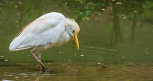 Posição branca na água, pássaro cosmopolita do egret de gado espalhado extensamente sobre o mundo fotografia de stock