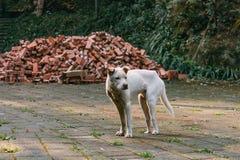 Posição branca triste do cão disperso em uma estrada na frente dos tijolos e da floresta foto de stock royalty free