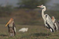 Posição cinerea de Grey Heron Ardea em um close-up do pé imagens de stock