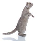 Posição cinzenta do gato Fotos de Stock
