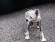 Posição com crista chinesa do cão imagens de stock