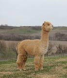 Posição da alpaca do ouro Fotos de Stock