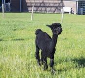 Posição da alpaca em um campo fotografia de stock royalty free