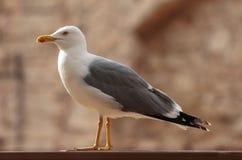 Posição da gaivota Fotografia de Stock