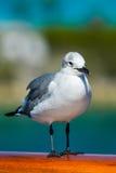 Posição da gaivota Imagens de Stock