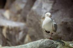 Posição da gaivota Imagens de Stock Royalty Free