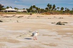 Posição da gaivota entre bolas da areia do caranguejo do bebedoiro automático da areia foto de stock royalty free