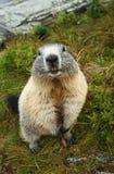 Posição da marmota Fotografia de Stock Royalty Free