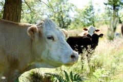 Posição da vaca sob uma árvore na grama alta fotografia de stock