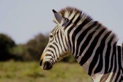 Posição da zebra Fotos de Stock