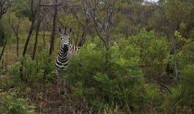 Posição da zebra atrás de um arbusto fotos de stock royalty free