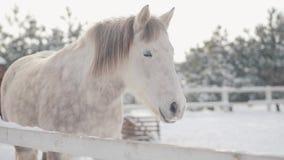 Posição dappled branca bonita do cavalo atrás da cerca na neve em um rancho que olha in camera próximo acima Puro-sangue de surpr video estoque