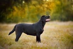 Posição de Brown Labrador Fotografia de Stock Royalty Free