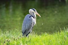 Posição de Grey Heron ereta, no flash de Sprotbrough, Doncaster fotos de stock royalty free