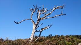 Posição de madeira seca solitária estando forte após a morte fotografia de stock