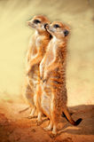 Posição de Meerkat Fotografia de Stock Royalty Free