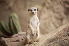 Posição de Meerkat Fotos de Stock