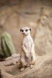 Posição de Meerkat Fotografia de Stock