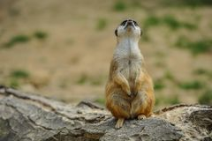 Posição de Meerkat no tronco de árvore que olha para o céu fotografia de stock