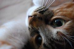 Posição do assento de um gato de casa Fotografia de Stock Royalty Free