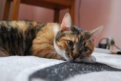 Posição do assento de um gato de casa Imagem de Stock