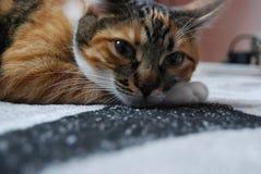 Posição do assento de um gato de casa Imagens de Stock