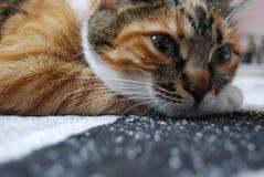Posição do assento de um gato de casa Foto de Stock