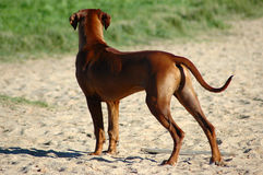 Posição do cão Fotos de Stock Royalty Free