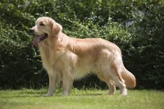Posição do cão Foto de Stock Royalty Free