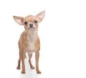 Posição do cão da chihuahua Fotografia de Stock