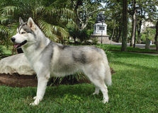 Posição do cão de puxar trenós Siberian Fotografia de Stock