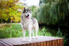 Posição do cão de puxar trenós Siberian Foto de Stock