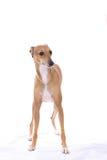 Posição do cão do galgo italiano Imagem de Stock