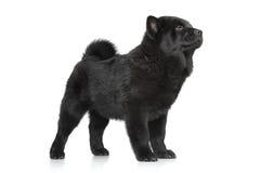 Posição do cachorrinho de Chow Chow Imagens de Stock Royalty Free