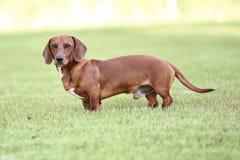 Posição do cachorrinho do bassê Foto de Stock