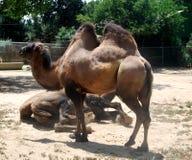 Posição do camelo Imagens de Stock Royalty Free