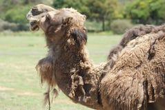 Posição do camelo da maltagem fotografia de stock royalty free