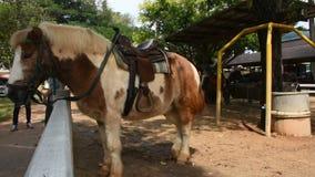 Posição do cavalo do anão e para comer o alimento no estábulo na exploração agrícola animal em Saraburi, Tailândia vídeos de arquivo