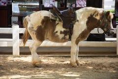 A posição do cavalo do anão relaxa no estábulo na exploração agrícola animal em Saraburi, Tailândia fotografia de stock