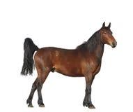 Posição do cavalo de baía isolada no fundo branco Fotos de Stock Royalty Free