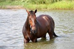 Posição do cavalo em uma água foto de stock