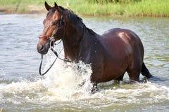 Posição do cavalo em uma água imagens de stock royalty free