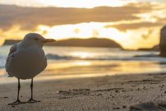 Posição do close up de Seagul na frente da rocha de sorriso da esfinge na praia da angra da catedral no hahei, coromandel, Nova Z fotografia de stock